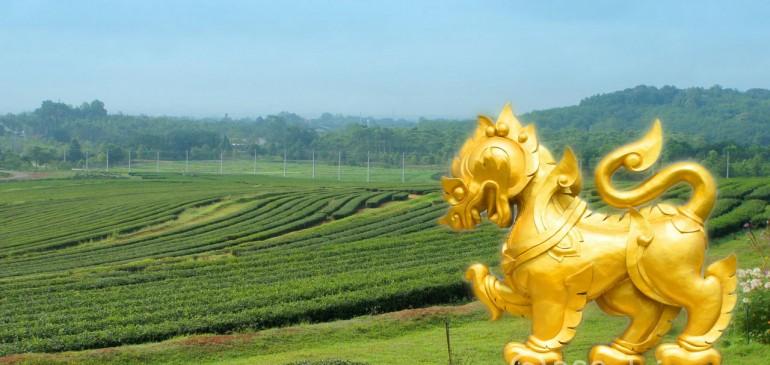 ไร่ ชาเขียวญี่ปุ่นแท้ คุณภาพส่งออกไปทั่วโลก มีในเมืองไทยแล้ว!!!