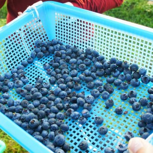 Social Enterprise-blueberry