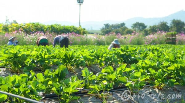 singha-park-chiang rai-farm